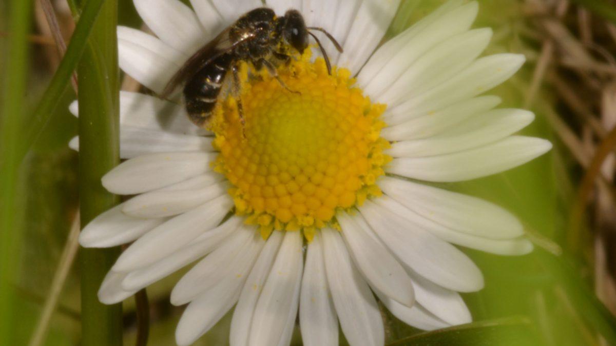 Wildbiene auf einem Gänseblümchen