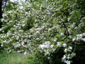 Baum mit Apfelblüten