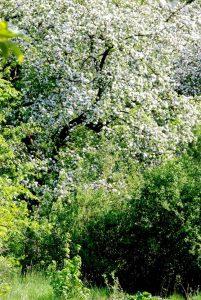 Obstbaum voller Blüten