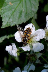 Eine Schwebfliege auf einer Blume