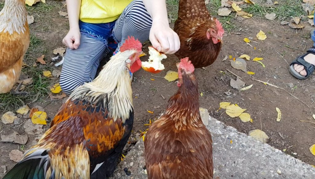 Ein Kind füttert Hühner mit einem Apfel