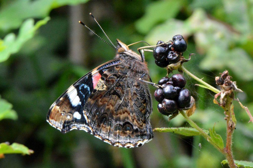 Ein Schmetterling an einer Brombeere